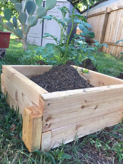 Hilling Potatoes in a Wooden Box - Texas Gardening